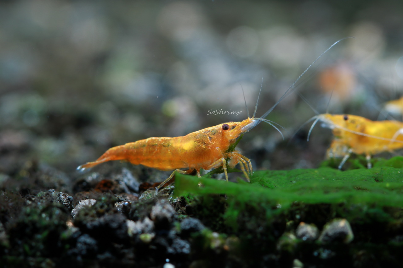 Orange Sunkist shrimp - female