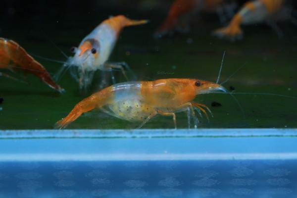 Berried Orange Rili Shrimp