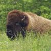 100x100-bison-03.jpg