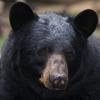 100x100-black-bear.jpg