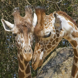 VIP Public Program - Meet and Feed the Giraffes (October 31, 2020)