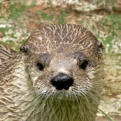 VIP Public Program - Meet and Feed the Otters (May 30, 2020)