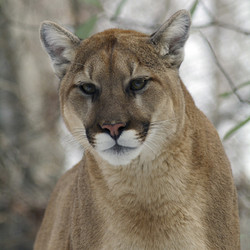 Private Tour - VIP Tour With A Cougar (2020)