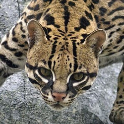 Lunch and Learn - Animal Caretaker - Ocelot