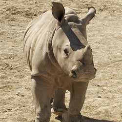 Private Meet and Greet with a White Rhinoceros