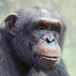Private VIP Tour With Chimpanzees (2021) Available April - October only