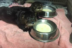 Special Rehab Adoption - Otter Pups
