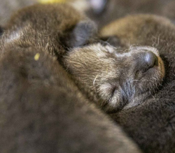Very Special American Red Wolf Puppy Love Adoption