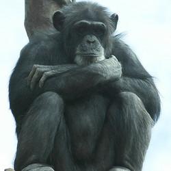 Adopt a Chimpanzee