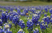 Wildflower - Bluebonnet Buzz