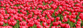 The Tulips of Spring Panoramic