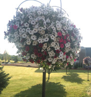 Giant Wave Petunia Hanging Baskets and Planters