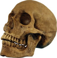 Resin Cranium Image