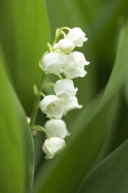 Lilly of the Valley a Fragrance very true to name Lily of the Valley aroma. Best Damn Scents
