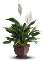 Peace Lilly Spathiphyllum Plant
