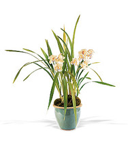 Large Cymbidium Orchid Plant