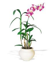 Living Dendrobium Orchid Plant
