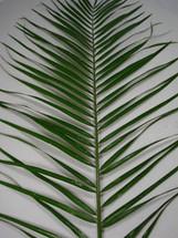 Robellini Palm