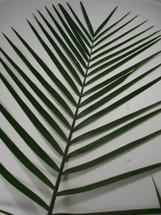 TeePee Palm