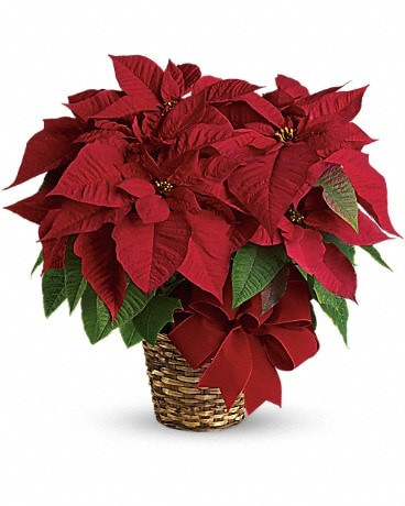 Nothing says Christmas like a big red poinsettia! A popular Christmas decoration, send this red poinsettia plant as a holiday gift - or keep it for yourself!
