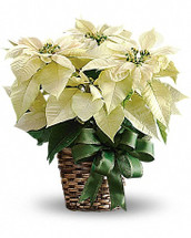 Nothing says Christmas like a big white poinsettia! A popular Christmas decoration, send this white poinsettia plant as a holiday gift - or keep it for yourself!