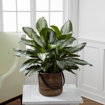The Chinese Evergreen