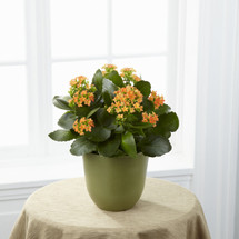 TheKalanchoe is a wonderful way to bring blooming color into their everyday! Displaying tiny bright orange flowers amongst lush green foliage, this beautiful plant is presented in a green biodegradable pot to create a wonderful way to extend your war