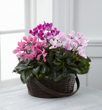 TheMixed Cyclamen Planter is a beautiful presentation of blushing delight! Three cyclamen plants blooming in varied colors of pink are perfectly situated in a dark round woodchip handled basket to create a beautiful display of grace and affection for