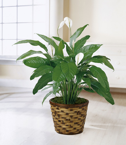 TheSpathiphyllum, or more commonly known as the Peace Lily, is a beautiful plant to help convey your wishes for tranquility and sweet serenity. An ideal gift for most occasions, this lush plant displays white conical blooms perfectly presented in a r