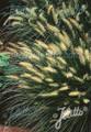 Ornamental Grass Seed - Pennisetum Alopecuroides Seeds