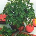 Herb Seeds - Parsley Hamburg Root
