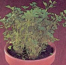 Parsley Crispum Plain