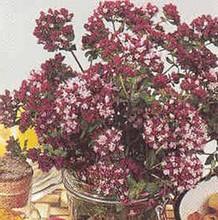 Origanum Vulgare Purple Maiden