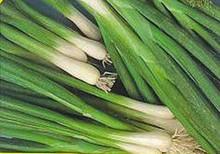 Onion Evergreen Bunching