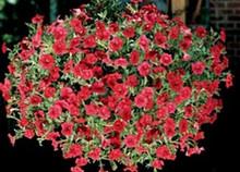 Petunia Ramblin Series Red