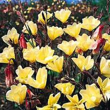 Oenothera Sundrops Lamarckiana