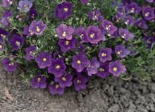 Nierembergia Purple Robe