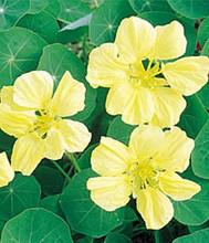 Nasturtium Tropaoleum Gleam Lemon Yellow