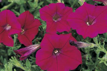 Petunia Ramblin Neon Rose