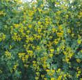 Nasturtium Tropaoleum Canary Bird Vine