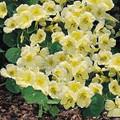 Nasturtium  Whirlybird Series Cream