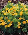 Nasturtium  Whirlybird Golden Yellow