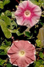 Morning Glory Ipomoea Rosita