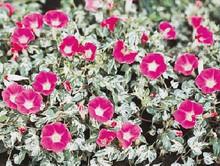 Morning Glory Ipomoea Mini Bar Rose