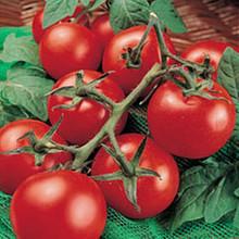 Moneymaker Heirloom Tomato