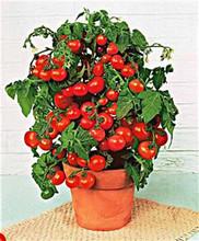 Mini Belle Tomato