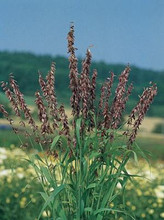 Ornamental Grass Seed - Melica Transsilvanica Red Spire