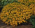 Marigold Seeds - French Signet Tangerine Gem