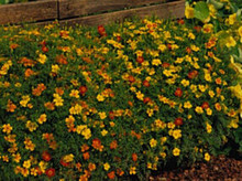 Marigold Seeds - French Signet Starfire Mix