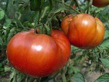 Tomato Double Rich